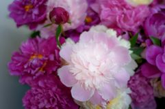 Beatyful peonies close to shallow depth of field.  royalty free stock images