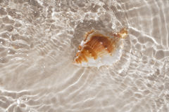 Beatyfull seashell bursa in sea water Stock Photo