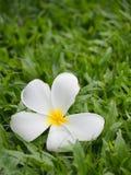 Beau avec des fleurs de Plumeria Image stock