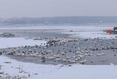 Beau bain d'oiseaux de Manu en rivière congelée Photographie stock libre de droits