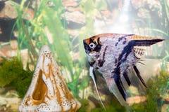 Beau bain de poissons dans un aquarium à la maison Photographie stock libre de droits