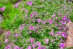 Beau beaucoup de fleurs lilas après pluie parmi des pierres de granit photos stock