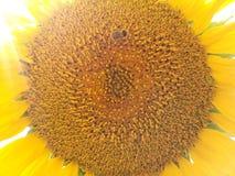 Beau, beauté, botanique, lumineuse, couleur, cultivée, champ, flore, florale, fleur, jardin, d'or, vert, feuille, lumière, macro, Photos libres de droits