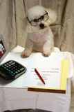 Beau a Bichon Frise conducts business at his desk Royalty Free Stock Photo