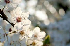 beau blanc d'arbre de source de fleurs Photos libres de droits