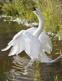 beau blanc de cygne Photographie stock libre de droits