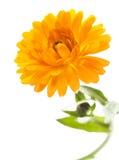 beau blanc de fleur Photos libres de droits