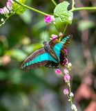 Beau bleuet commun en parc de papillon images stock