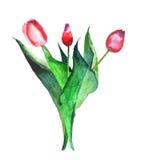 Beau bouquet de raffinage lumineux de croquis rouge de main d'aquarelle de trois tulipes Image libre de droits