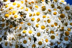 Beau bouquet des fleurs de marguerite photos libres de droits