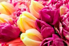 Beau bouquet des fleurs pourpres roses colorées fraîches de tulipes Carte de voeux images stock