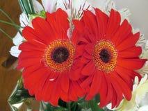 Beau bouquet des gerberas rouges au printemps Photos libres de droits