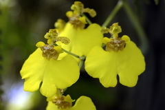 Beau bouquet des orchidées jaunes du genre Oncidium Photos stock