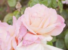 Beau bouquet des pétales roses luxuriants de l'usine rose dans le jardin - Photographie stock libre de droits