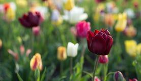 Beau bouquet des tulipes Image libre de droits