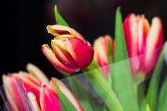 Beau bouquet des tulipes Photographie stock