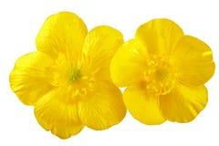 Beau bouquet jaune de renoncule se trouvant sur les conseils en bois blancs Image libre de droits