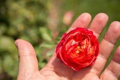 Beau bourgeon coloré de floraison de rose à disposition Images stock