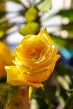 Beau bourgeon d'une rose jaune dans le plan rapproché de jardin Photographie stock libre de droits