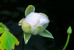 Beau bourgeon floral vert de lotus photographie stock libre de droits