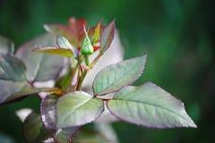 Beau bourgeon non-ouvert avec des feuilles Le thé vert d'habillage rouge foncé de jardin s'est levé Photographie stock