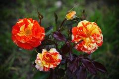 Beau bourgeon trois de floraison Le thé vert d'habillage rouge jaune de floraison de jardin s'est levé Image stock