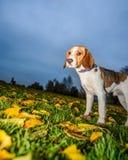 Beau, Brown et chiot blanc de chien de briquet Photo libre de droits