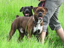 Beau and Bruiser Royalty Free Stock Photography