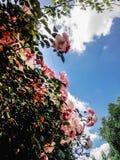 Beau buisson étonnant de temps rose frais de roses au printemps sur Photos stock