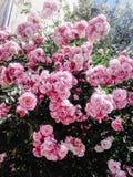 Beau buisson étonnant de temps rose frais de roses au printemps sur Photo stock