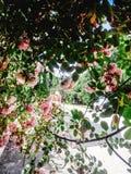 Beau buisson étonnant de temps rose frais de roses au printemps sur Photographie stock libre de droits