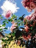Beau buisson étonnant de temps rose frais de roses au printemps sur Photos libres de droits