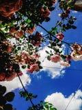 Beau buisson étonnant de temps rose frais de roses au printemps sur Photographie stock