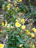 Beau buisson d'arbre de rose de jaune élevant l'extérieur sauvage en automne Images stock