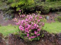 Beau buisson d'azalée rose sur une fin de flanc de coteau  Photos stock