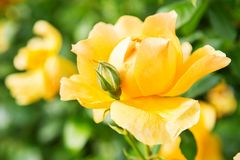 Beau buisson des roses jaunes dans un jardin de ressort Roseraie Images stock