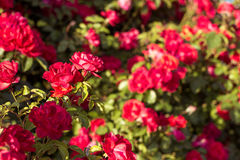 Beau buisson des roses rouges dans un jardin de ressort Roses rouges Jardin de floraison Ressort Été Photo libre de droits