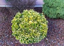 Beau buisson rond frais au sol avec des pierres Photos stock