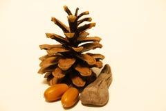 Beau cône de pin avec des glands sur un fond blanc image libre de droits