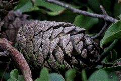 Beau cône de pin sur les feuilles vertes étroitement  photos stock
