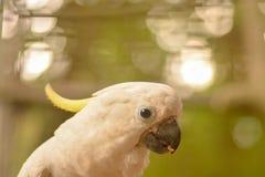 Beau cacatoa avec le plumage jaune regardant fixement vous photos libres de droits
