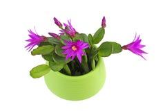 Beau cactus de Pâques de floraison image stock