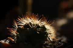 Beau cactus embranché comme fond image stock