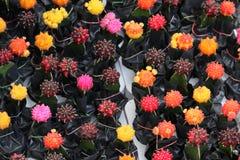 Beau cactus multi de couleur dans le jardin photographie stock libre de droits