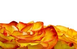 Beau cadre de roses Photo libre de droits