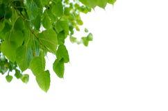 Beau cadre de tableau fait à partir des feuilles vertes sur le fond blanc, feuilles de cadre de tableau photos stock