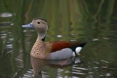 Beau canard Photos libres de droits