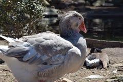 Beau canard photographie stock libre de droits