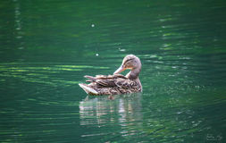 Beau canard appréciant le jour ensoleillé Images stock