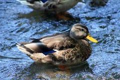 Beau canard au Michigan Photographie stock libre de droits